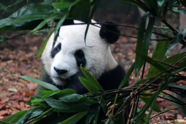 Chengdu is famous for its Pandas so it was a compulsory visit to the breeding centre!